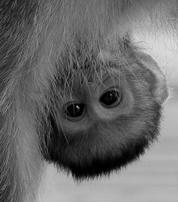 Baby vervet liveafrica.info