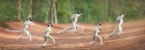 Jumping Lemurs In Madagascar
