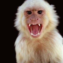 angry-monkey-screaming