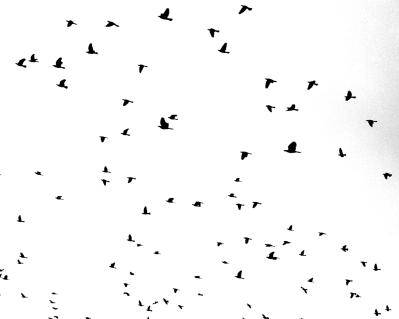 Flood Birds