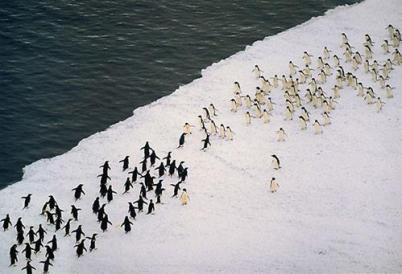 penguins running toward each other