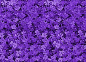 pretty_field_of_purple_flowers